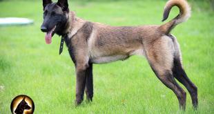 Tìm hiểu về chó Malinois ( Becgie Bỉ )