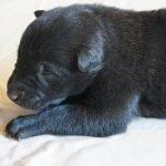 chó becgie bỉ dưới 1 tháng tuổii