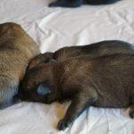 đàn chó becgie bỉ malinois dưới 1 tháng tuổi