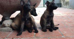 bán đàn chó becgie bỉ - malinois 2 tháng tuổi