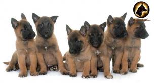 Chế độ dinh dưỡng cho chó becgie bỉ - malinois 2 tháng tuổi