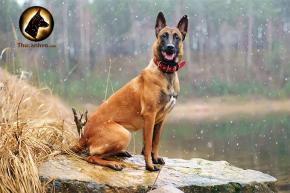 Chó Becgie Bỉ ( Chó Malinois) tại thucanhvn.com
