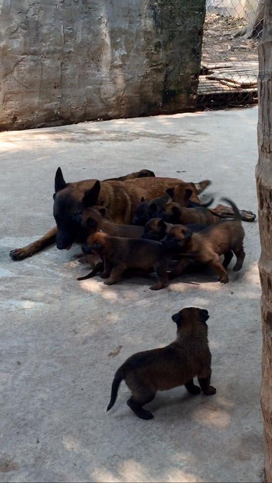 đàn chó malinois 2 tháng tuổi