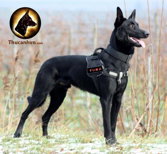 Chó malinois thông minh, vóc dáng đẹp và cân đối