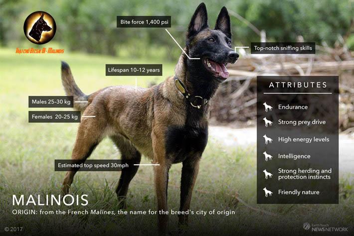 bệnh letop ở chó becgie bỉ - malinois